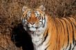 Leinwanddruck Bild Portrait of a Bengal tiger (Panthera tigris bengalensis) in natural habitat, India.