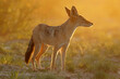canvas print picture Black-backed jackal (Canis mesomelas) in early morning light, Kalahari desert, South Africa.
