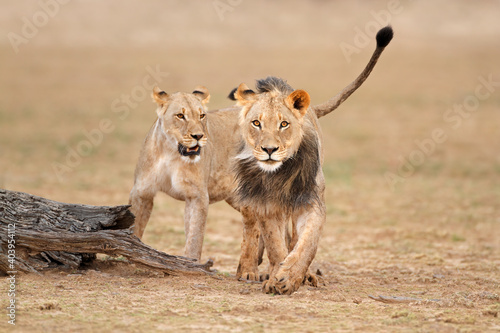 Male and female African lions (Panthera leo), Kalahari desert, South Africa.