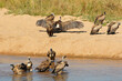 canvas print picture - White-backed vultures (Gyps africanus) bathing and basking in sun, Kruger National Park, South Africa.