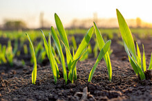 Sprouts Of Young Barley Or Wheat That Have Just Sprouted In The Soil, Dawn Over A Field With Crops.