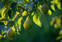 Group Of Ripe Healthy Yellow And Green Pears Growing On A Tree In Sunlight In A Real Organic Garden