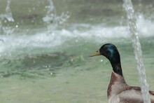 Duck On Sheet Of Water Of A Fountain In A Square