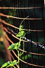 Bitter Gourd Climber Getting Over The Fence
