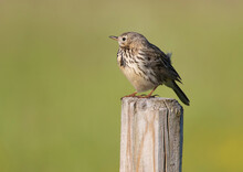 The Meadow Pipit (Anthus Pratensis) Is A Small Passerine Bird.