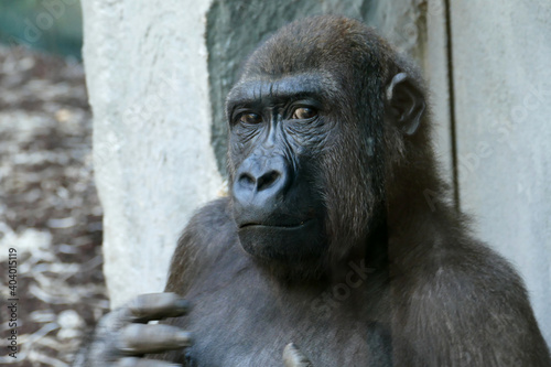Portrait Of Gorilla Fototapeta