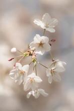 Close-up Of White Tree Blossom