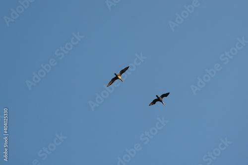 Fototapeta premium Flying cormorants against the blue sky. Animal