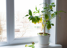 Plant In A Pot On The Windowsill Inside The Room. An Unhealthy Plant With Yellowed And Fallen Leaves. Improper Care, Illness.