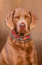 A Beautiful Portrait Of A Chesapeake Bay Retreiver Dog