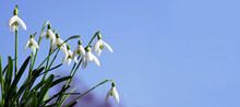 Snowdrops In Spring With Blue Sky, Banner, Header, Headline, Panorama