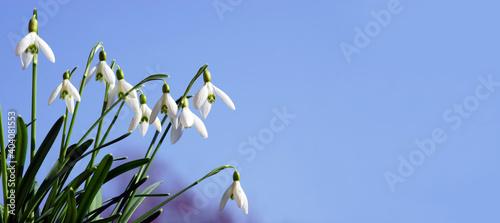 Fototapeta Snowdrops in spring with blue sky, banner, header, headline, panorama obraz