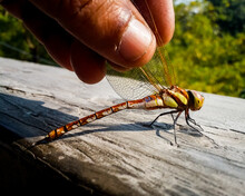 Hand Holding Wings Of A Dragonfly (Darner, Family - Aeshnidae, Genus - Aeshna). It Has Transparent Wings, Yellow Stripes On Its Brown Body. Beautiful Nature Outdoor Image In Kolkata, India.