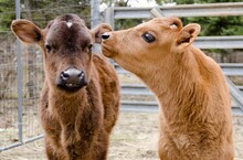 Close-up Of Two Cows