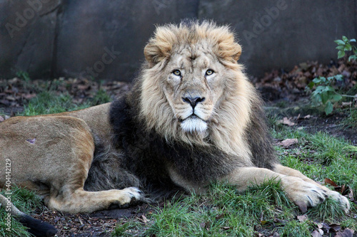 Canvas Portrait Of Lion Relaxing Outdoors