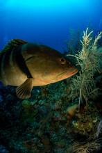 A Nassau Grouper Swimming By