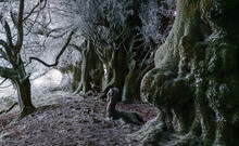 Huge Lichen And Frost Covered Beech Trees Form A Line Like A Scene From Spooky Scary Harry Potter Movie