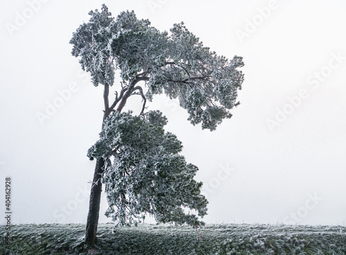 Fotografia, Obraz a lone scots pine covered in windswept frost against a deep mist background from