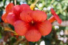 Trumpet Vine Orange Flower