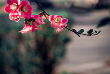 Spring Flowers On The Branches In White,  Rose, Magenta And Red Color With Beautiful Bokeh.