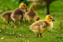 Portrait Of Little Yellow Goslings (baby Goose) Swimming, Walking, Sitting, And Eating On The Green Grass And Flowers By The Water