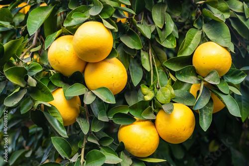 Fototapeta grapefruits on tree obraz