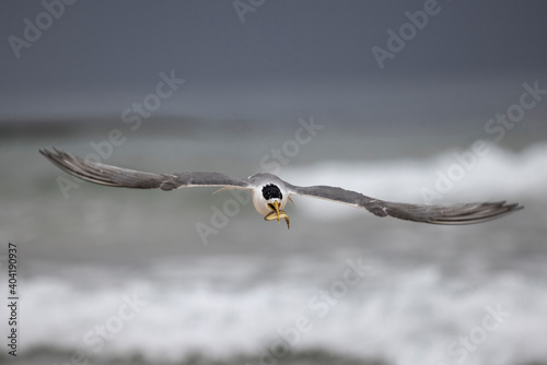 Greater Crested Tern carrying a fish for it's fledgling Fototapete