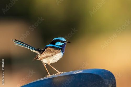 Photo An adult male Superb Fairywren (Malurus cyaneus) in its rich blue and black breeding plumage
