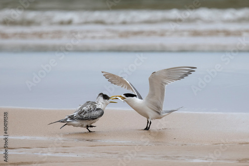 Leinwand Poster Greater Crested Tern feeding fish to fledgling