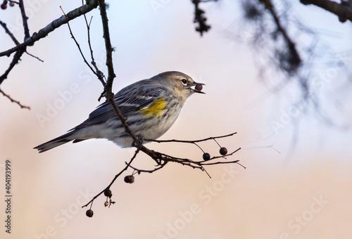 Fotografie, Obraz The yellow rump warbler feeding in the park