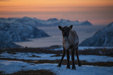 Young Reindeer At Sunset, With The Beautiful Arctic Islands And Fjords In The Background, Northern Norway
