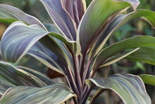 Leaf Or Plant Cordyline Fruticosa Leaves Colorful Tropical Nature Background.