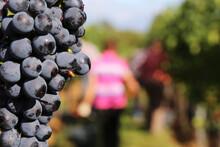 Weinlese: Handlese Von Spätburgunder Weintrauben