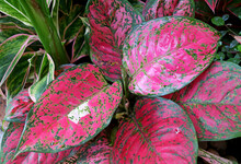Hot Pink With Green Color Foliage Of Aglaonema Pink Dalmatian Or Chinese Evergreen In The Garden
