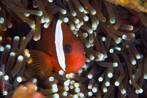 Fotografie, Obraz Tomato clownfish swimming in front of its anemone - Amphiprion frenatus