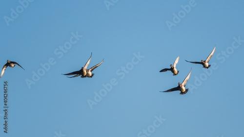 Fotografia Eurasian Wigeon, Mareca penelope birds in flight in sky