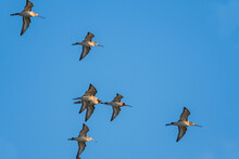 Black-tailed Godwit, Limosa Limosa In The Flight In Environment