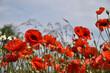 Poppies, beautiful summer flowers