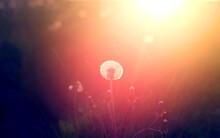 Beautiful Photo Of White Dandelions