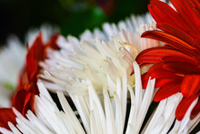 Close Up Of Red And White Flower Highlighted By Sun
