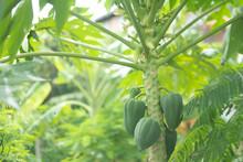 Raw Green Papaya On Tree.