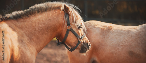 Two beautiful light palomino horses with long bangs walk around the farm. Livestock.