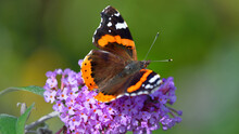 The Red Admiral (Vanessa Atalanta) Butterfly On The Pink Flowers, Close-up. Green Summer Garden Blurred In Bokeh. Nature, Insects. Macrophotography, Graphic Resources