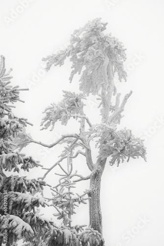 Fototapeta Zmrożone drzewo