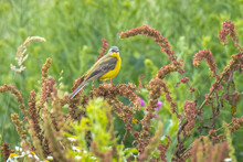Closeup Of A Male Western Yellow Wagtail Bird Motacilla Flava Singing