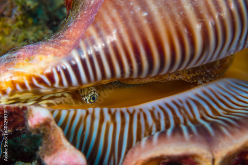 Giant conch sticking eye of its shell Fototapet