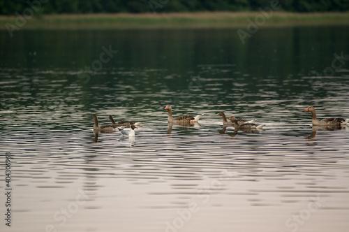 Fototapeta Stadko kaczek płynących po jeziorze obraz