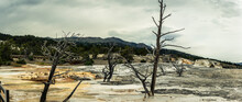 Panorama Shot Of Dead Tree In Mammoth Hot Springs In Yellowstone National Park In America