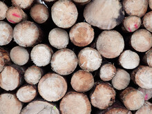 Front View Of A Large Pile Of Freshly Cut Logs Lying In The Woods.