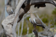 White-winged Doves Perch On Branches In The Dry Chihuahuan Desert Near El Paso, Texas